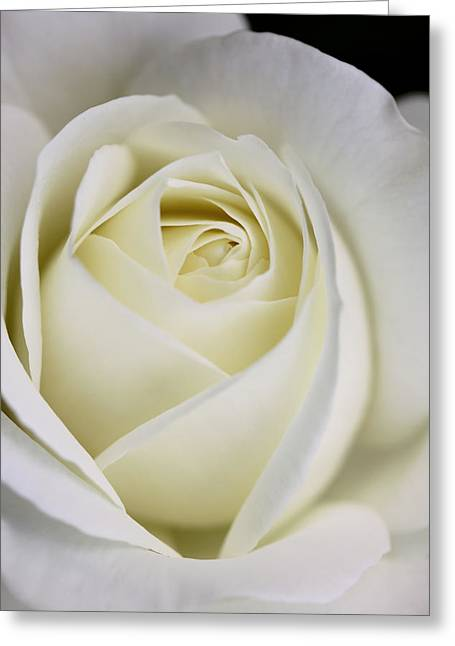 Ivory Roses Greeting Cards - Queen Ivory Rose Flower 2 Greeting Card by Jennie Marie Schell