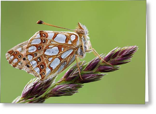 Queen Of Spain Fritillary Greeting Card by Heath Mcdonald