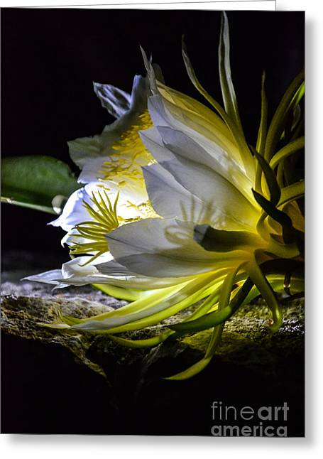 Heavenly Scent Greeting Cards - Queen Of The Night Greeting Card by Anna Wacker