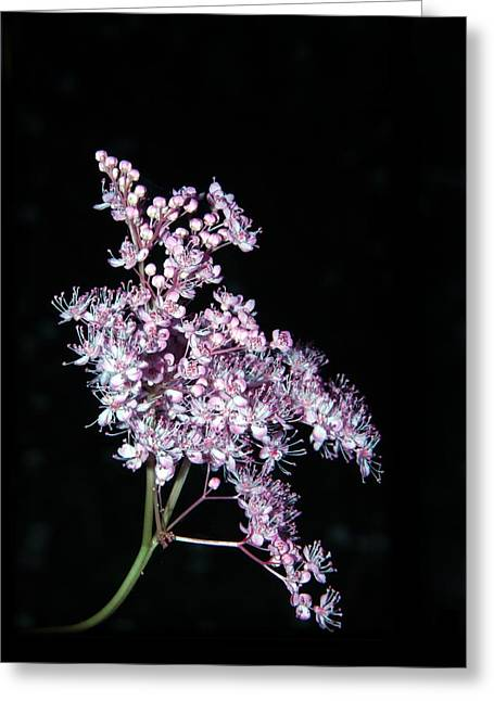 Andrea Lazar Greeting Cards - Queen of the Prairie Meadowsweet Greeting Card by  Andrea Lazar