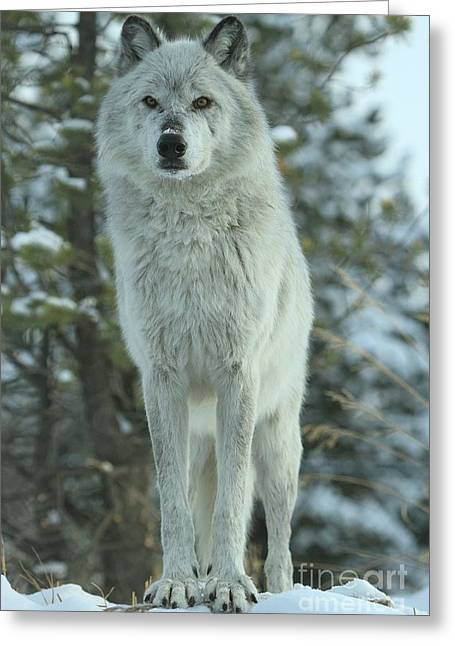 Alpha Wolf Greeting Cards - Queen Of The Rockies Greeting Card by Adam Jewell