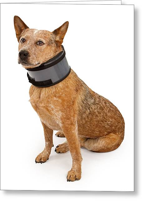 Obedient Greeting Cards - Queensland Heeler Dog Wearing A Neck Brace Greeting Card by Susan  Schmitz