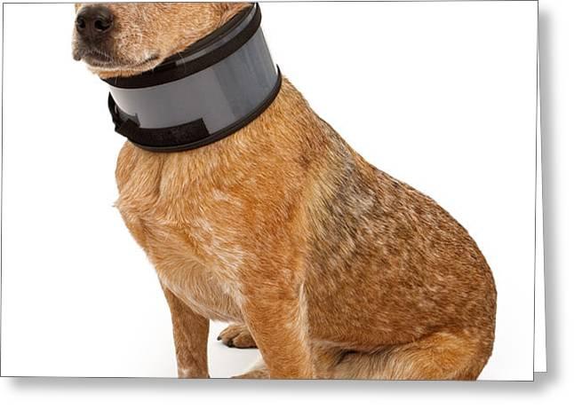 Queensland Heeler Dog Wearing A Neck Brace Greeting Card by Susan  Schmitz