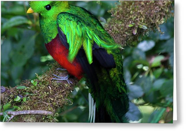 Faunal Greeting Cards - Quetzal Greeting Card by Heiko Koehrer-Wagner