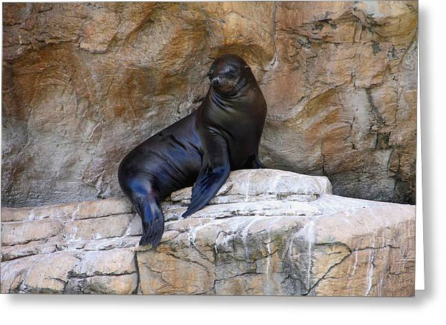 California Sea Lions Greeting Cards - Quiet Contemplation Greeting Card by Debbie Oppermann