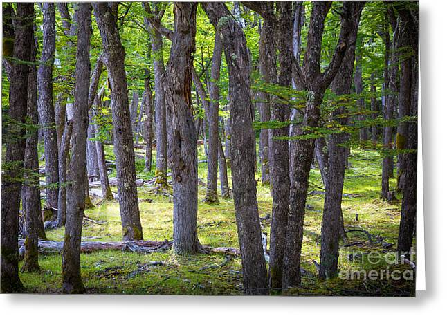 Argentina Greeting Cards - Quiet Forest Greeting Card by Inge Johnsson