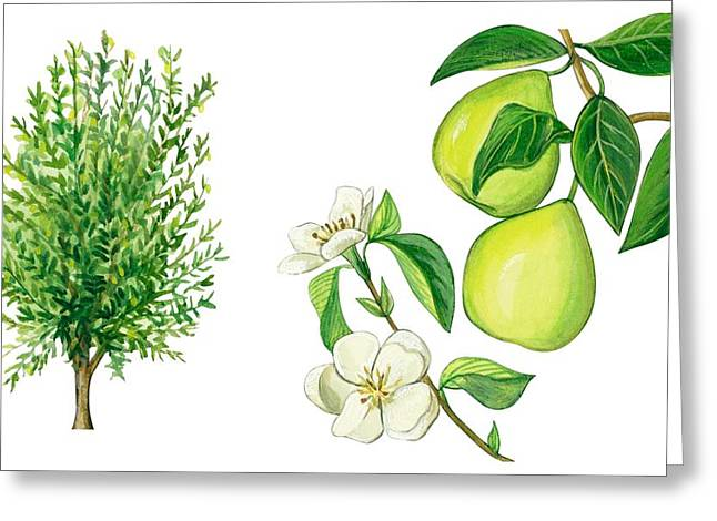 Fresh Green Drawings Greeting Cards - Quince tree Greeting Card by Anonymous