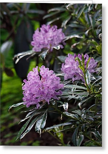 Mistymisschristie Greeting Cards - R. ponticum variegatum Greeting Card by Chris Anderson
