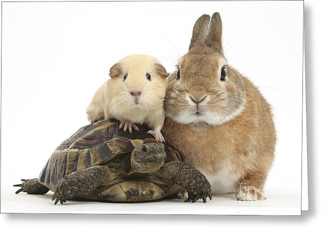 House Pet Greeting Cards - Rabbit, Tortoise And Guinea Pig Greeting Card by Mark Taylor