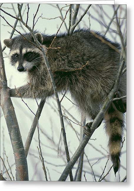 Introvert Greeting Cards - Raccoon 3 Greeting Card by Ellen Henneke