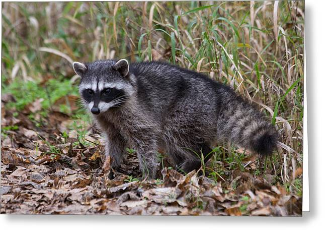 Wildlife Refuge. Greeting Cards - Raccoon Greeting Card by Angie Vogel