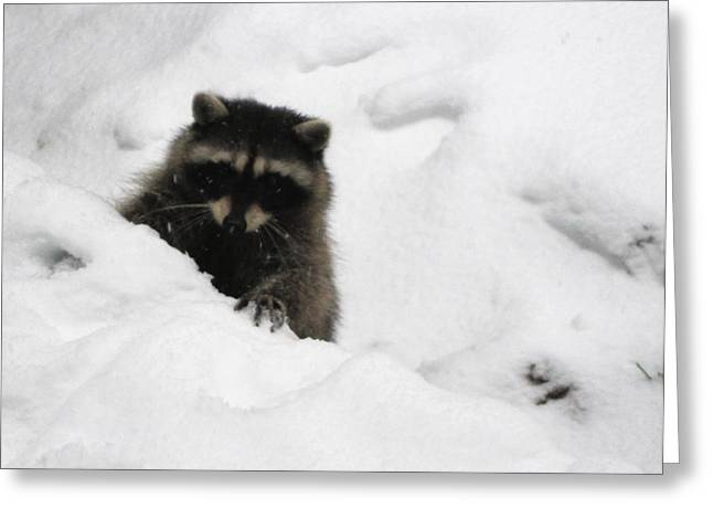 All Around Greeting Cards - Raccoon Digs Snow Greeting Card by Kym Backland