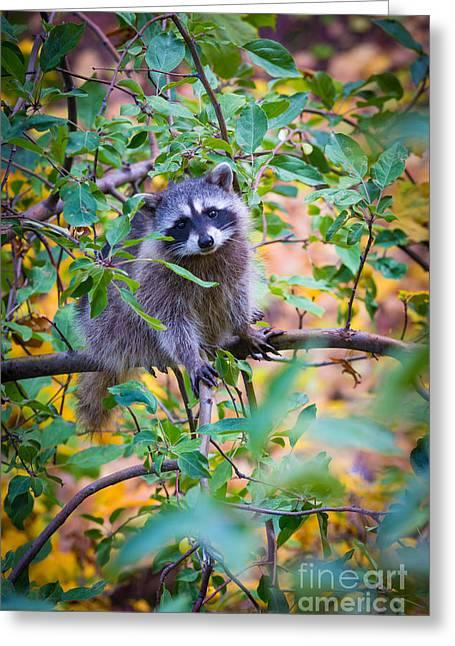 Spokane Greeting Cards - Raccoon Greeting Card by Inge Johnsson