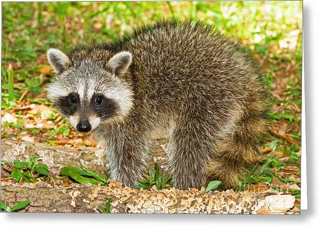 Raccoon Photographs Greeting Cards - Raccoon Greeting Card by Millard H Sharp