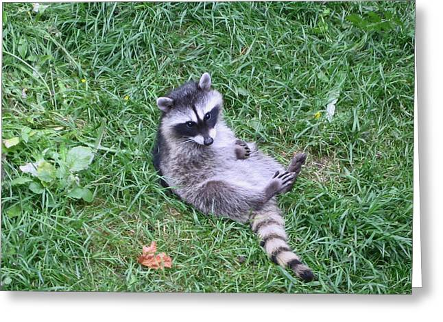 Raccoon Plays In The Grass Greeting Card by Kym Backland
