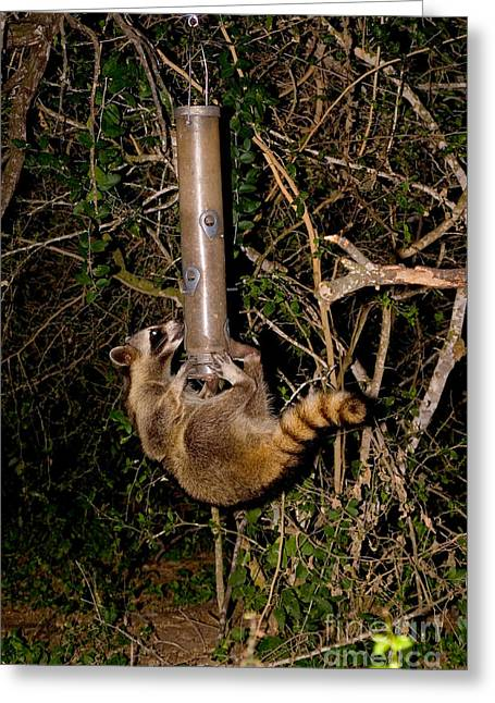 Raccoon Photographs Greeting Cards - Raccoon Raiding Bird Feeder Greeting Card by Gregory G. Dimijian, M.D.