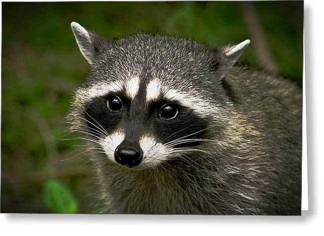 Haybale Greeting Cards - Raccoon Greeting Card by Robert Bales