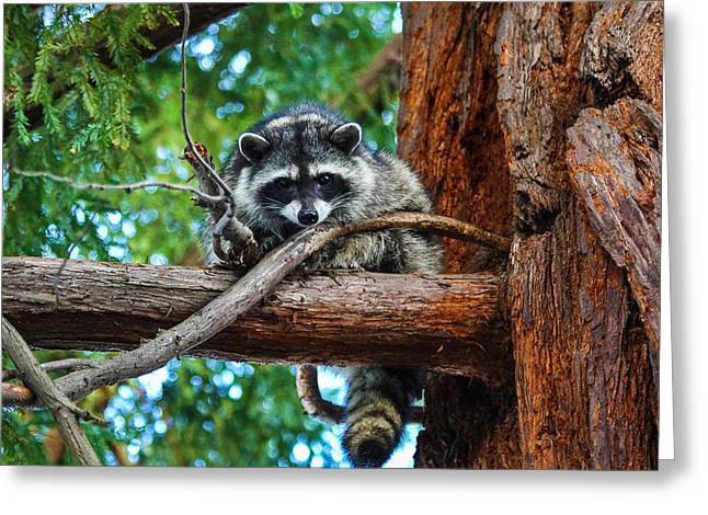 Sempervirons Greeting Cards - Raccoon Staredown Greeting Card by Hugh Stickney