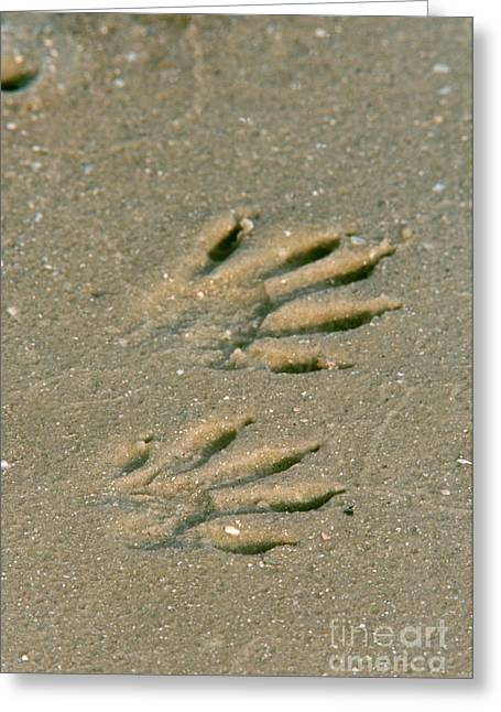 Animal Paw Print Greeting Cards - Raccoon Tracks In Sand Greeting Card by Steve Maslowski