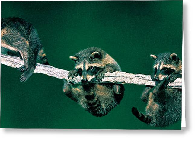Climb Tree Greeting Cards - Raccoons Concept Alberta Canada Greeting Card by Panoramic Images