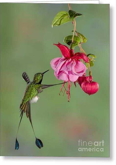 Racquet Digital Art Greeting Cards - Rackettail Hummingbird Approach Greeting Card by Jerry Fornarotto