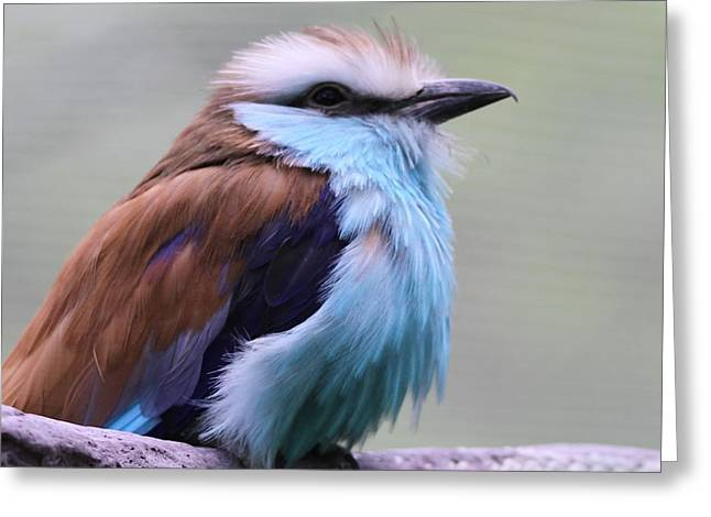 Racquet Photographs Greeting Cards - Racquet Tailed Roller Greeting Card by Dan Sproul