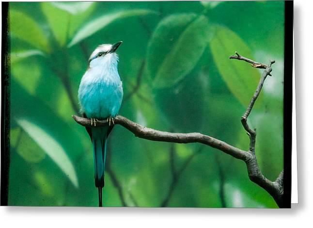 Original Art Photographs Greeting Cards - Racquet tailed roller Greeting Card by Gary Heller