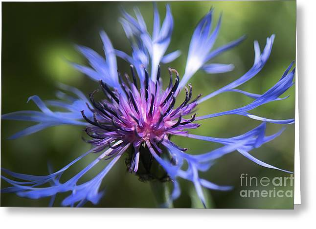 Centaurea Montana Greeting Cards - Radiant Flower Greeting Card by Belinda Greb