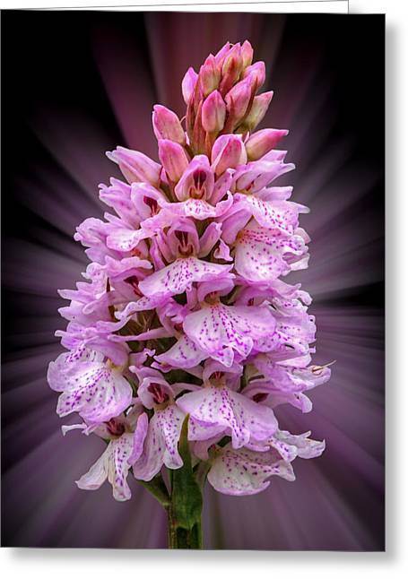 Radiant Wild Pink Spotted Orchid Greeting Card by Gill Billington