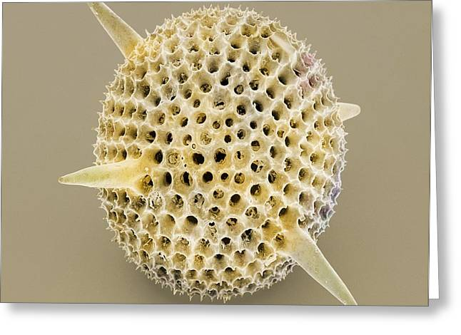 Radiolarian Greeting Cards - Radiolarian, Sem Greeting Card by Power And Syred
