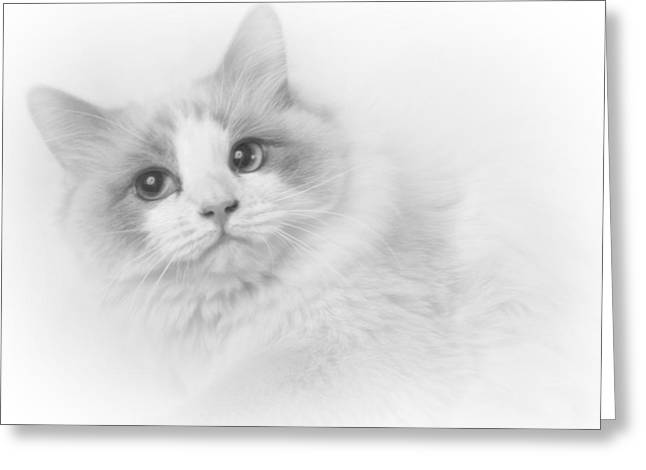 Ragdoll In Black And White Greeting Card by David and Carol Kelly