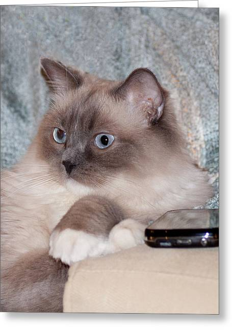Cellphone Greeting Cards - Ragdoll Waiting for a Call Greeting Card by Lowell Monke