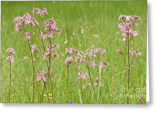 Caryophyllales Greeting Cards - Ragged Robin Greeting Card by Dr. Thorsten Katz