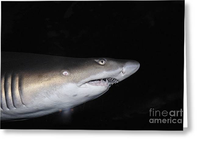 Cape Town Greeting Cards - Ragged-Toothed Shark in aquarium Greeting Card by Sami Sarkis