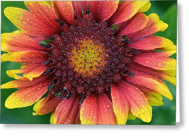 Rain Drop Indian Blanket Flower Greeting Card by Dean Hueber
