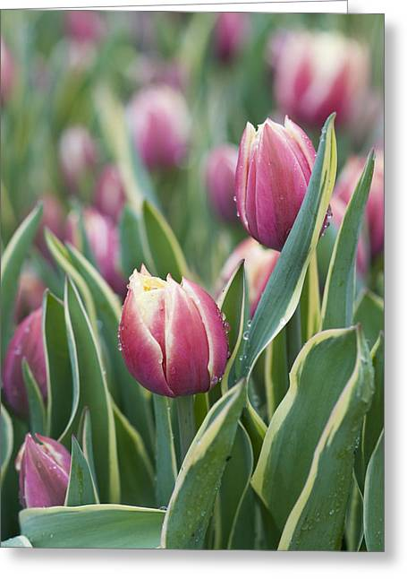 Delicate Bloom Greeting Cards - Rain Drops on Tulips Greeting Card by Juli Scalzi