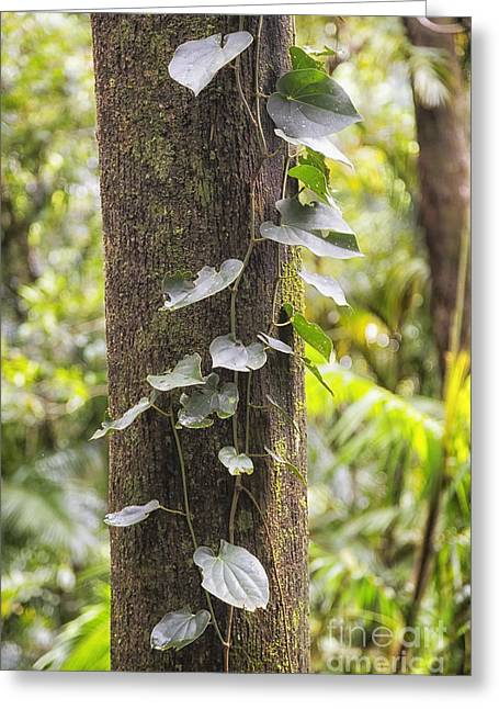 Close Focus Nature Scene Greeting Cards - Rain forest vine Greeting Card by Wendy Townrow