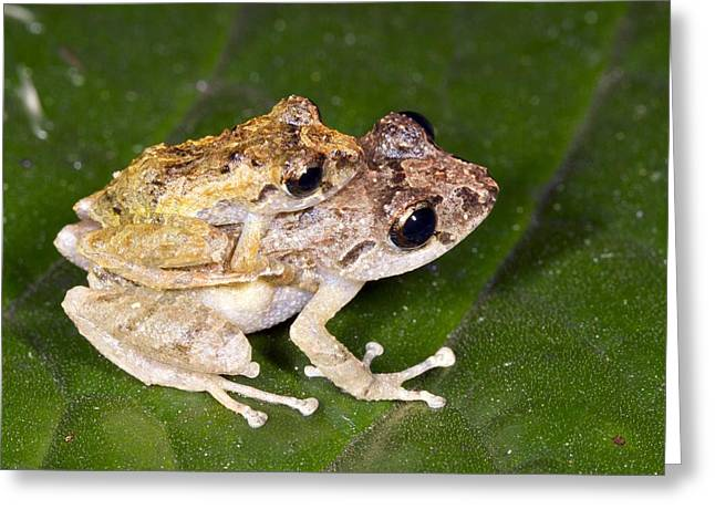 Mounting Greeting Cards - Rain frogs mating Greeting Card by Science Photo Library