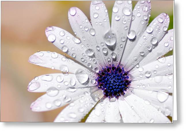 Soaked Greeting Cards - Rain Soaked Daisy Greeting Card by Kaye Menner