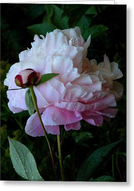 Ivory Art Greeting Cards - Rain-soaked Peonies Greeting Card by Rona Black