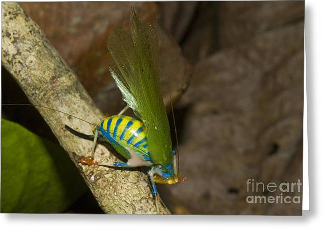 Katydid Greeting Cards - Rainbow Katydid Greeting Card by William H. Mullins
