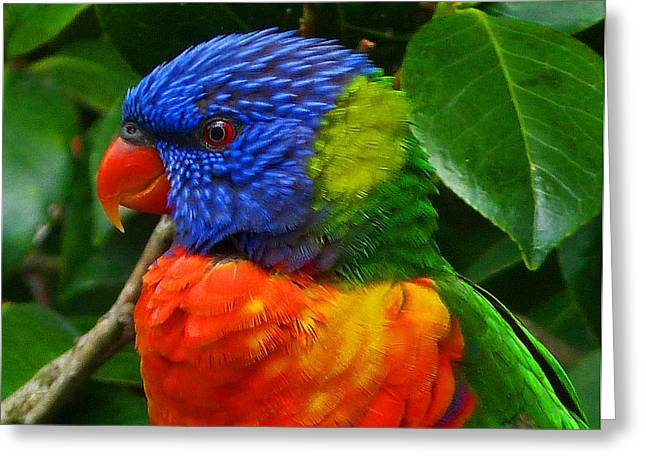 Saheed Greeting Cards - Rainbow Lorikeet Deep In Thought Greeting Card by Margaret Saheed
