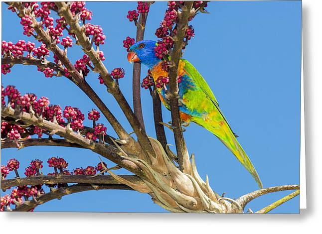 Rainbow Lorikeet In Queensland Umbrella Greeting Card by D. Parer & E. Parer-Cook