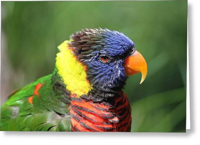 Rainbow Lorikeets Greeting Cards - Rainbow Lorikeet Portrait Greeting Card by Dan Sproul