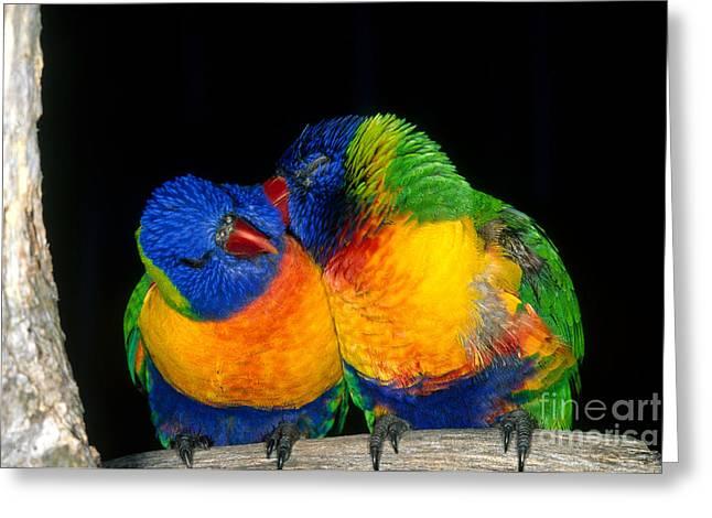 Rainbow Lorikeets Greeting Cards - Rainbow Lorikeets Greeting Card by Gregory G. Dimijian, M.D.