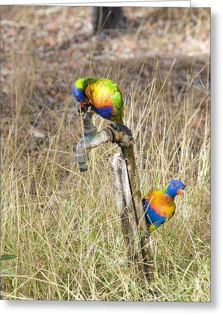 Faucet Greeting Cards - Rainbow Lorikeets Greeting Card by William H. Mullins