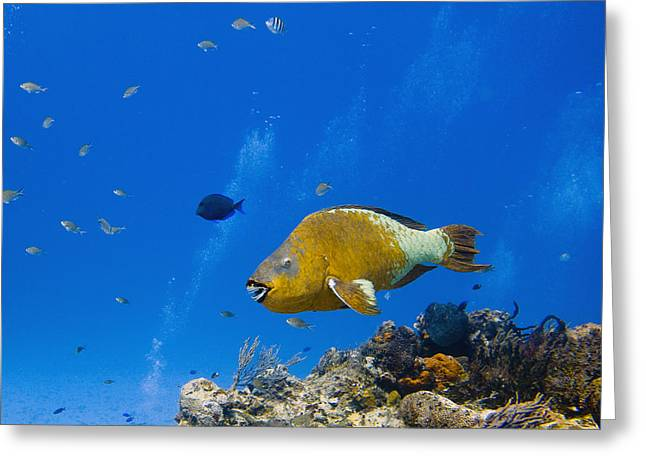 Underwater Greeting Cards - Rainbow Parrotfish Greeting Card by Jim Murphy