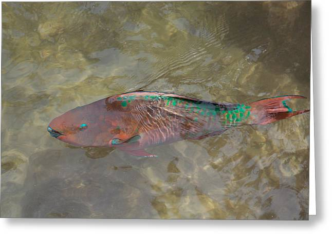Biology Greeting Cards - Rainbow Parrotfish Greeting Card by John Bailey