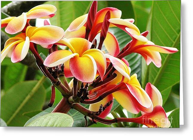 Mary Deal Greeting Cards - Rainbow Plumeria - 1 Greeting Card by Mary Deal