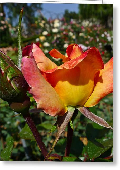 Rose Petal Sorbet Greeting Cards - Rainbow Sorbet Greeting Card by Denise Mazzocco